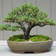 Consejos para cuidar un bonsái