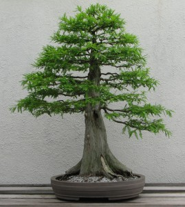 Bald_Cypress_1987-2007_converted