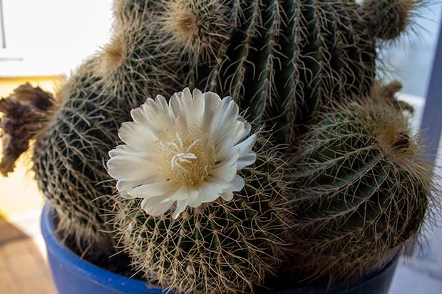 flor-de-cactus